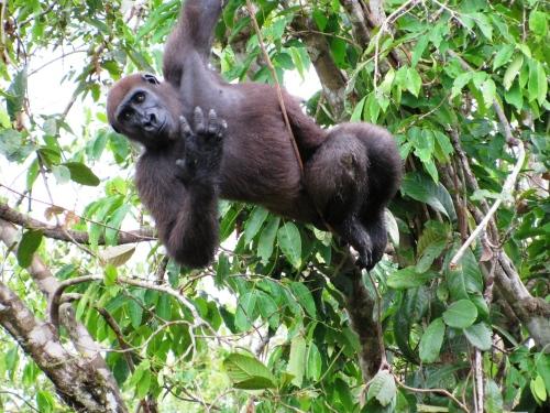 gabon fernan gorilla 2