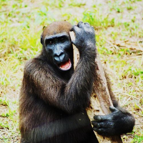 gabon fernan gorilla