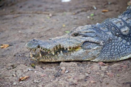 guinea varela croc