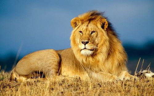 lib lion
