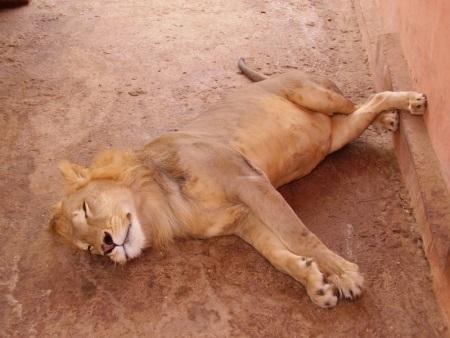 mali zoo lion