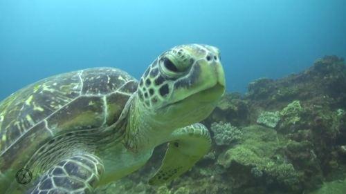 erit dahlak turtle