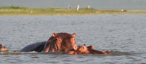 ethi rift valley hippos