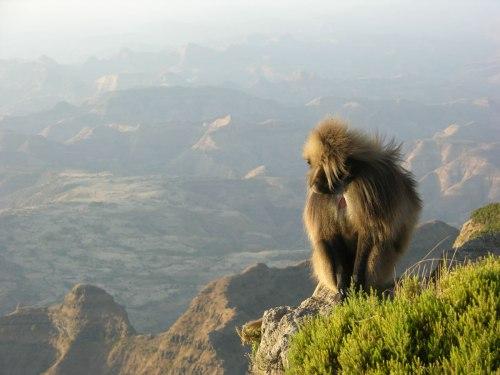 ethi simien baboon 2