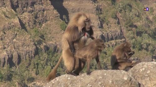ethi simien baboon