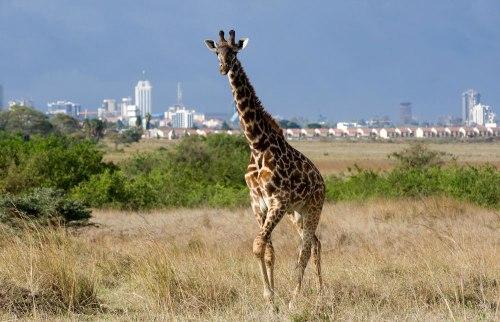 ken Nairobi_National_Park_033