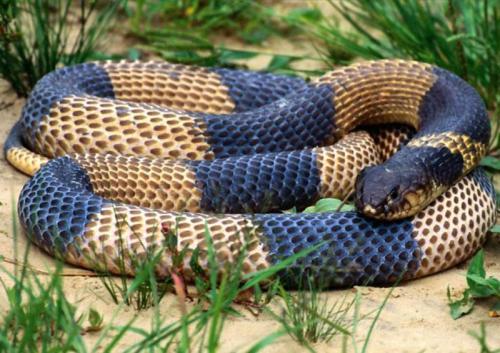 ken snake