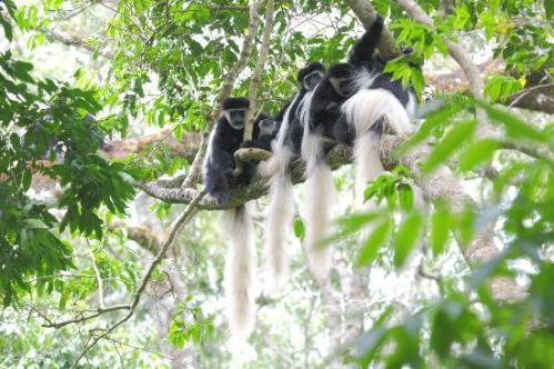tan arusha colobus monkey