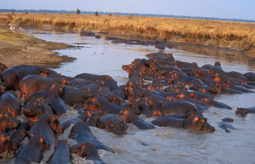 tan katavi hippo