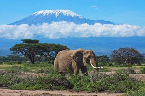 tan mount kilimanjaro elephant