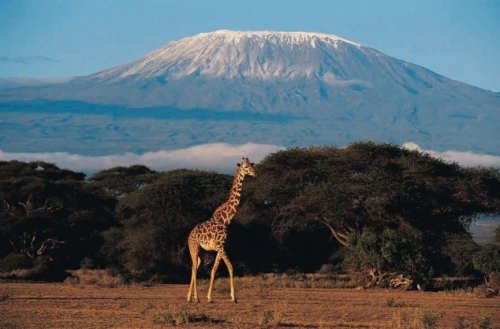 tan mount kilimanjaro zirrafe