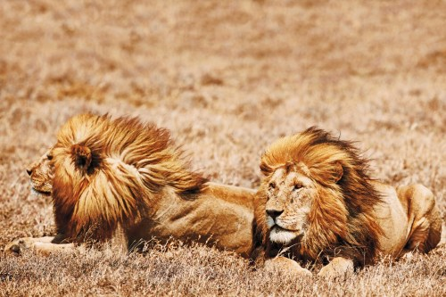 tan serengeti lions