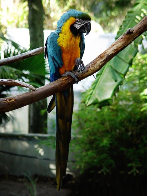 cape birds parrot