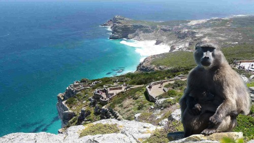 cape good hope monkey