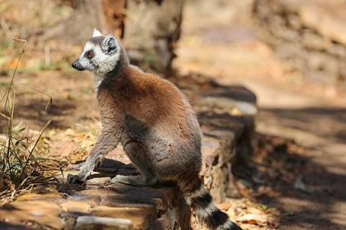 mad isalo lemur 2