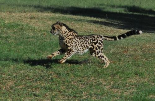 pret cheetah 2