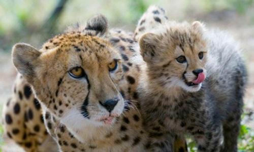 pret cheetah