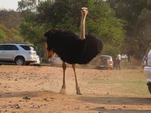 pret mor ostrich