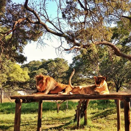 zim wild lions
