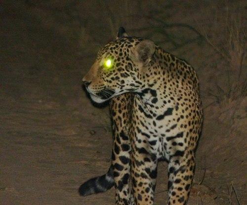 bol chiq jaguar