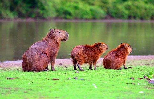 bra brazil-brasilia-capybaras