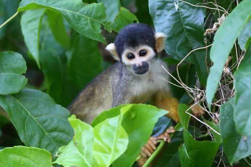 man ana islands monkey