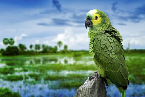 man ana islands parrot