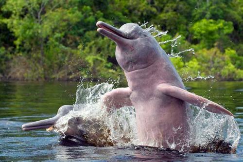 man jau dolphin better