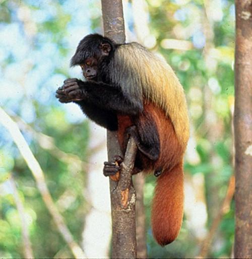 man jau national monkey