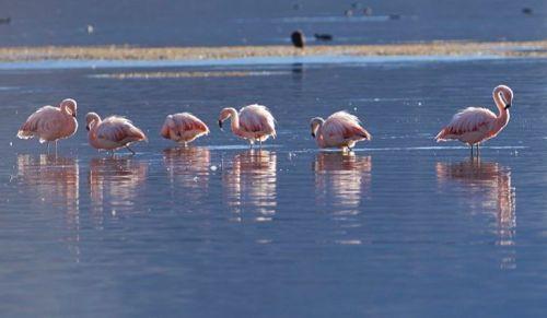 chile lauca chilean-flamingos