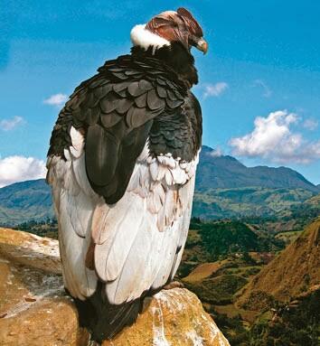 chile lauca condor