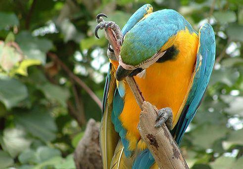 ecuador historico parrot