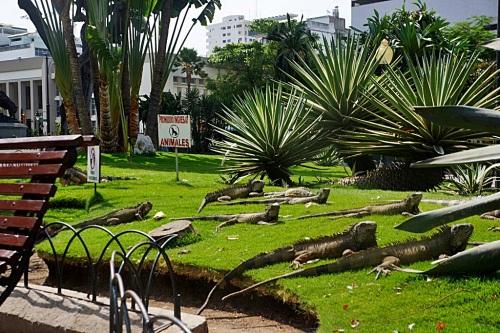 ecuador iguanas park 2
