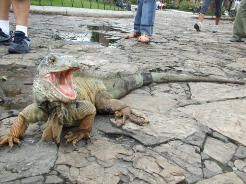 ecuador iguanas park.jpg