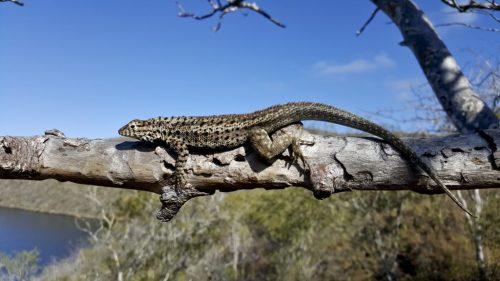gal darwin lake iguana