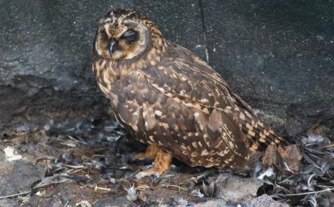 gal el chato owl