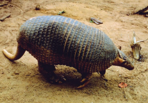 guy Giant-Armadillo-500x350