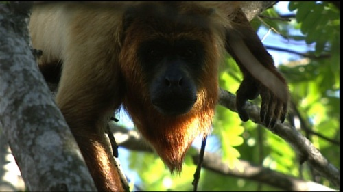 guy linden howler monkey