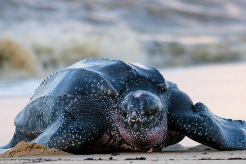 Eine Lederschildkröte am Shell Beach von Guyana im Norden des Landes, einem idealen Brutplatz für die Meeresschildkröten