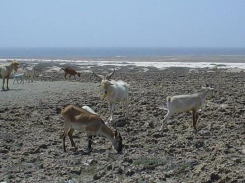 aruba california goats