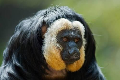 sur central monkey