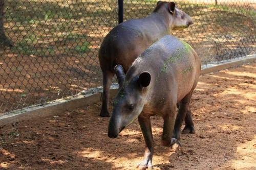 Tapirs are seen at the Zulia's Metropolitan Zoological Park in Maracaibo