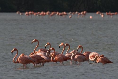 venez morrocoy flamingos