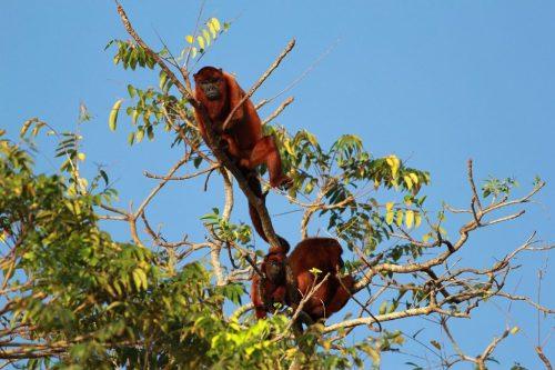 venez orinoco monkeys