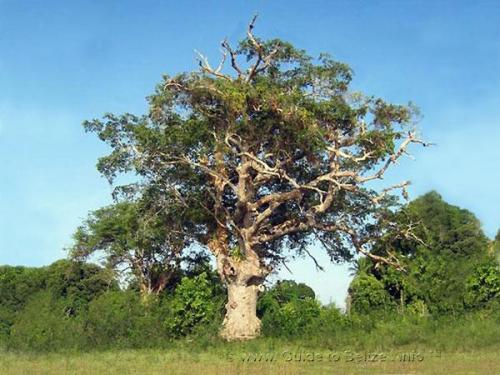 belize guana tree