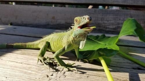 belize iguana 3