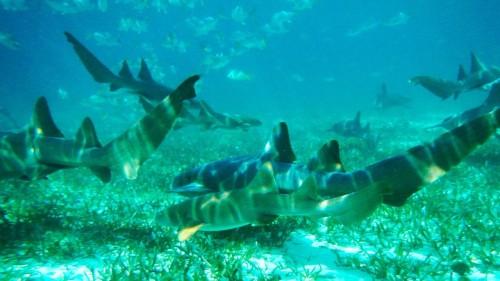belize shark
