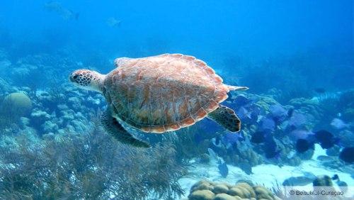 curacao shete turtle