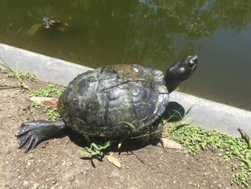 el laguna turtle