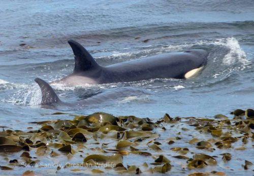 falk sea lions orca